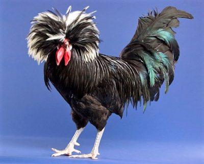 imagenes de gallos polacos