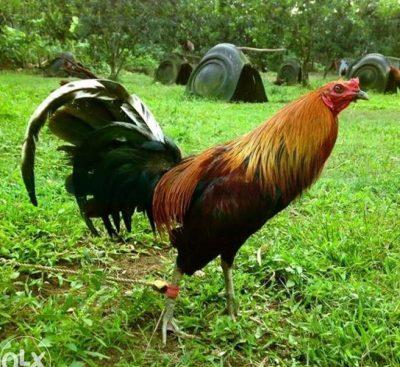 descargar imagenes de gallos de pelea para celular