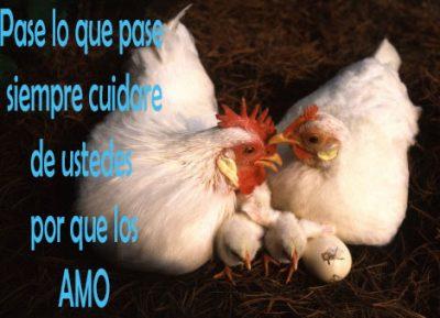gallos con frases de amor