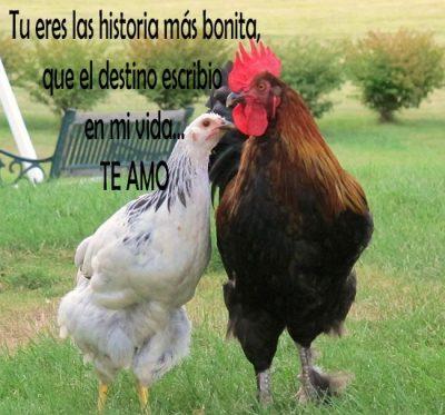 Imagenes De Gallos Con Frases De Amor Para Mi Novia
