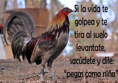 Imagenes De Gallos Finos Con Frases Bonitas