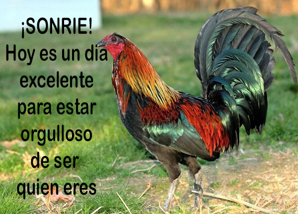 Imagenes De Gallos Con Frases Bonitas