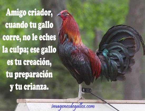 Dibujos Y Fraces De Gallos Imagenes De Gallos Con Frases Y