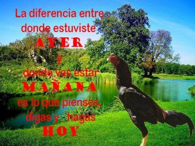 imagenes de gallos con pensamientos positivos