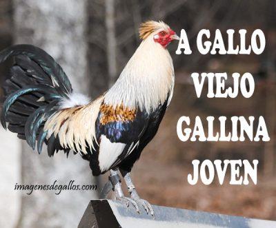 fotos de gallos giros con frases y dichos de galleros
