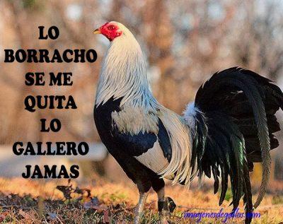 bonitas imagenes de gallos giros con frases de galleros