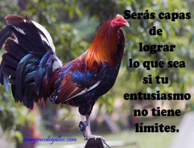 imagenes de gallos finos con frases positivas