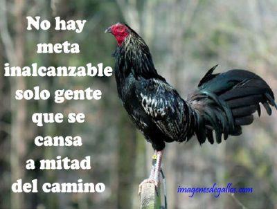 gallos con frases