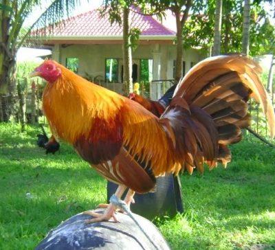 imagenes de gallos dorados