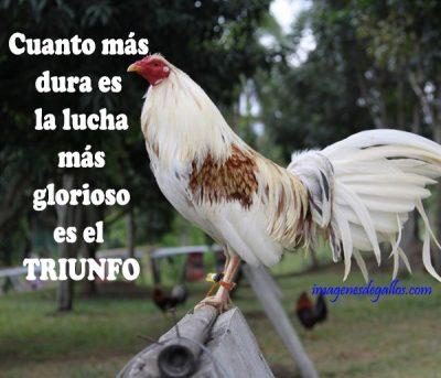 fotos de gallos con textos bonitos