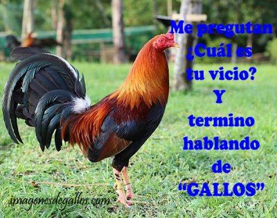 fotos de gallos finos de pelea con frases chidas