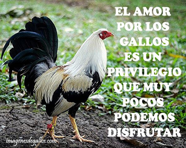 Imagenes De Gallos Finos Con Frases Chidas Para Un Gallero