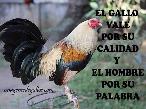 Descargar Imagenes De Gallos Con Frases