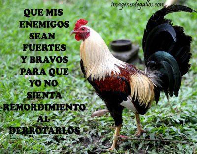 Imagen de gallo giro con mensaje