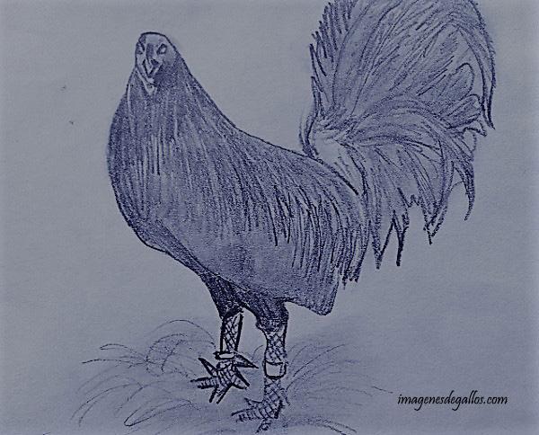 Fotos De Gallos De Pelea A Lapiz Para Descargar  imagenes de gallos
