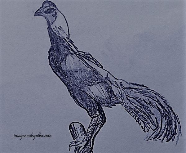 Dibujos Gallos Para Colorear: Dibujos De Gallos De Pelea A Lapiz