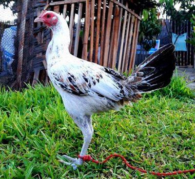 Imagen de gallina peruana pinta
