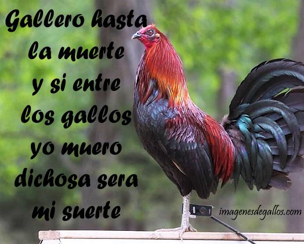 Imagenes De Gallos Finos Con Mensajes Bonitos