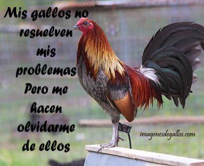 Imagenes De Gallos Finos Con Mensajes