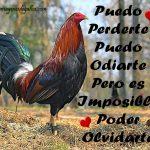 Frases De Galleros Enamorados Con Fotos De Gallos Finos