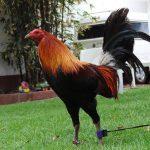 Como Preparar Un Gallo De Pelea Una Semana Antes Del Combate