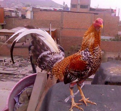 fotos de gallos moros