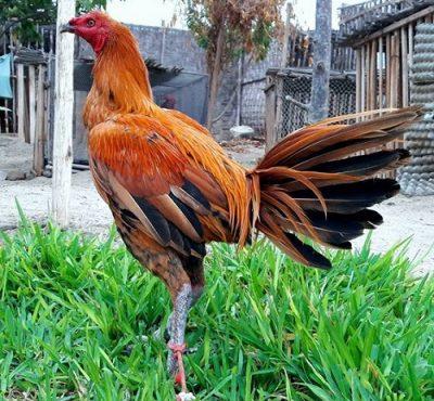 gallos de pelea peruanos calpara