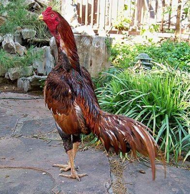 fotos de gallos de riña brasileros