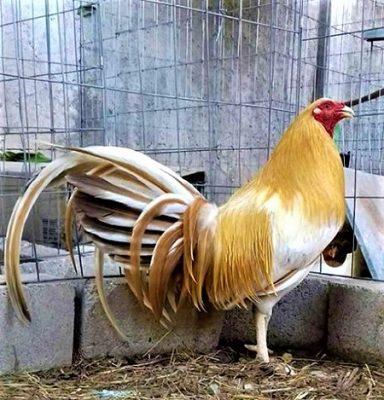 gallo giro dorado
